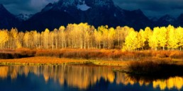 Quaking Aspen Mount