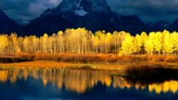 Quaking Aspen Mount
